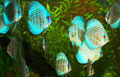 Diszkoszhal - több szín