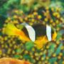 Amphiprion sebae - Sárgafarkú bohóchal