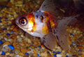 Kalikó teleszkóp szemű aranyhal