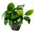 Anubias Nana - Törpe vízilándzsa előtéri növény