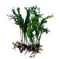 Microsorum Pteropus Windelov vízinövény