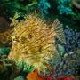 Chaetodermis pencilligerus - Bojtos levélhal
